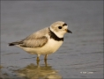 Florida;Plover;Piping-Plover;Charadrius-melodus;shorebirds;one-animal;close-up;c