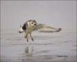 Florida;Piping-Plover;Plover;Flight;Southeast-USA;Charadrius-melodus;shorebirds;