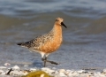 Red-Knot;Knot;Calidris-canutus;Shorebird;shorebirds;closeup;color-image;photogra