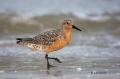 Red-Knot;Calidris-canutus;Shorebird;shorebirds;closeup;color-image;photography;d