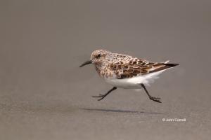Calidris-alba;One;Sanderling;Shorebird;Shoreline;avifauna;beach;bird;birds;color
