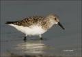 Florida;Sanderling;Calidris-alba;shorebirds;one-animal;close-up;color-image;nobo