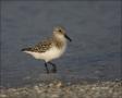 Sanderling;Florida;Southeast-USA;Calidris-alba;shorebirds;one-animal;close-up;co