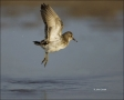 Least-Sandpiper;Sandpiper;Flight;Florida;Shorebird;Calidris-minutilla;shorebirds