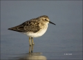 Florida;Southeast-USA;Least-Sandpiper;Sandpiper;Calidris-minutilla;shorebirds;on