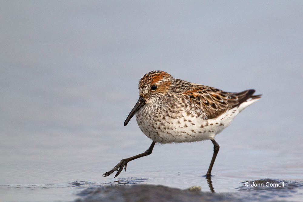 Calidris mauri;Forage;One;Sandpiper;Shorebird;Western Sandpiper;avifauna;bird;birds;color image;color photograph;feather;feathered;feathers;foraging;hunter;hunting;natural;nature;outdoor;outdoors;shore;shorebid;water;wild;wilderness;wildlife