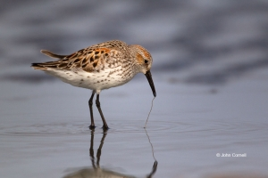 Calidris-mauri;Forage;One;Sandpiper;Shorebird;Western-Sandpiper;avifauna;bird;bi