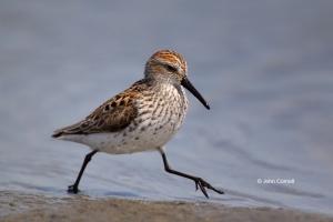 Calidris-mauri;One;Sandpiper;Shorebird;Shoreline;Western-Sandpiper;avifauna;beac