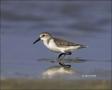 Western-Sandpiper;Sandpiper;Calidris-mauri;shorebirds;one-animal;close-up;color-