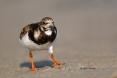 Animals-in-the-Wild;Arenaria-interpres;Mud-Flat;Photography;Ruddy-Turnstone;Shor