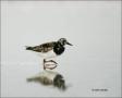 Ruddy-Turnstone;Turnstone;shorebirds;one-animal;close-up;color-image;nobody;phot