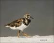 Florida;Ruddy-Turnstone;Turnstone;shorebirds;one-animal;close-up;color-image;nob