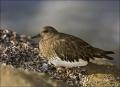 Black-Turnstone;Turnstone;California;Southwest-USA;shorebirds;one-animal;close-u