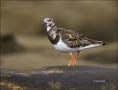 California;USA;Ruddy-Turnstone;Turnstone;Arenaria-interpres;one-animal;close-up;