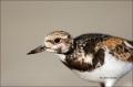 Ruddy-Turnstone;Turnstone;Arenaria-interpres;Shorebird;shorebirds;closeup;color-
