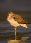 Yellowlegs;Greater-Yellowlegs;Florida;Southeast-USA;Tringa-melanoleuca;shorebird