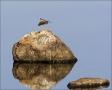 Lesser-Yellowlegs;Yellowlegs;Tringa-flavipes;Shorebird;Scenic;shorebirds;Reflect