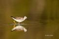 Lesser-Yellowlegs;Yellowlegs;Tringa-flavipes;Shorebird;shorebirds;closeup;color-
