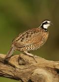 Quail;Male;Southwest-USA;Texas;Northern-Bobwhite;Colinus-virginianus;one-animal;