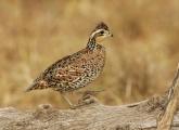 Female;Quail;Southwest-USA;Texas;Northern-Bobwhite;Colinus-virginianus;one-anima