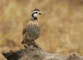 Male;Quail;Southwest-USA;Texas;Northern-Bobwhite;Colinus-virginianus;one-animal;