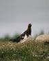Ptarmigan;Male;Lagopus-lagopus;Willow-Ptarmigan;One;one-animal;avifauna;bird;bir