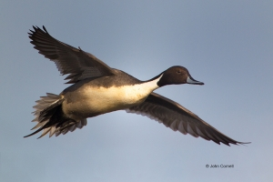 Anas-acuta;California;Colusa-National-Wildlife-Refuge;Duck;Flying-Bird;Northern-