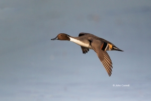 Anas-acuta;California;Duck;Flying-Bird;Llano-Seco-NWR;Northern-Pintail;One;Photo
