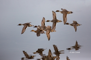 Anas-acuta;Breeding-Behavior;Breeding-Season;California;Colusa-National-Wildlife