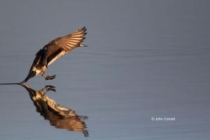 Anas-acuta;Duck;Northern-Pintail;One;avifauna;bird;color-image;color-photograph;