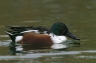 Northern-Shoveler;Duck;Anas-clypeata;one-animal;close-up;color-image;nobody;phot