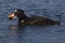 Surf-Scoter;Scoter;Melanitta-perspicillata;one-animal;close-up;color-image;nobod