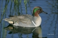 Green-winged-Teal;Teal;Duck;Male;Anas-crecca;one-animal;close-up;color-image;nob