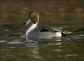 Duck;Male;Northern-Pintail;Anas-acuta;one-animal;close-up;color-image;nobody;pho