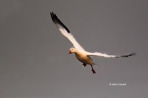 Chen-caerulescens;Goose;Snow-Goose,-action,-active,-aloft,-behavior,-birds,-Cali