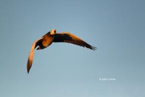 Blue-Morph;Chen-caerulescens;Dark-Morph;Flying-Bird;Goose;Photography;Snow-Goose