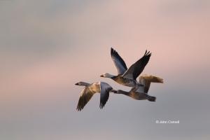 Chen-caerulescens;Flying-Birds;Goose;Snow-Goose;Sunrise;Three-animals;adult;avif