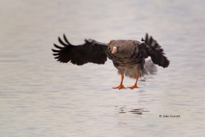 Anser-albifrons;Flying-Bird;Greater-White-fronted-Goose;Landing;Photography;Whit