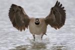 Branta-canadensis;Canada-Goose;Flying-Bird;Photography;action;active;aloft;beha