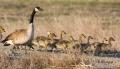Goose;Branta-canadensis;Canada-Goose;Parent;Chick;bond;bonding;family;innocent;j