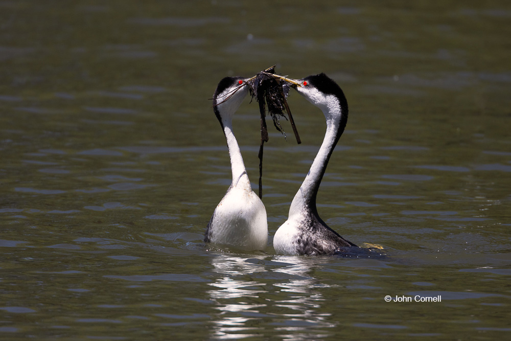 Aechmophorus occidentalis;Breeding Behavior;Breeding Display;Breeding Plumage;Courtship Behavior;Courtship Ritual;Grebe;One;Weed Dance;Western Grebe;avifauna;bird;birds;color image;color photograph;feather;feathered;feathers;natural;nature;outdoor;outdoors;weed ceremony;wild;wilderness;wildlife