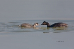 Eared-Grebe;Feeding-Behavior;Podiceps-nigricollis;chick;chicks;feeding;parent;pa
