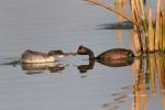 Eared-Grebe;Feeding-Behavior;Podiceps-nigricollis;Reflection;chick;chicks;feedin