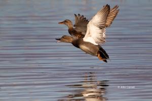 Anas-strepera;Flying-Bird;Gadwall;Pair;Pair-of-Birds;Photography;Takeoff;Two-ani