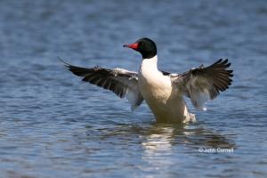 Common-Merganser;Male;Merganser;Mergus-merganser,-One;-avifauna;-bird;-birds;-co
