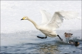 Whooper-Swan;Swan;Olor-cygnus;Japan;Waterfowl;Flying-Bird;action;active;aerodyna