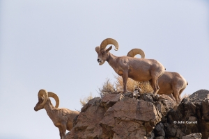 Animals-in-the-Wild;Bighorn-Sheep;Cottonwood-Canyon;Mt-Grant;Nevada;Ovis-canaden