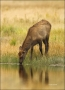 Elk;Cervus-canadenis;Calf;River;Fall;one-animal;close-up;color-image;nobody;phot