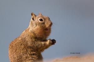 California-Ground-Squirrel;Mammal;Otospermophilus-beecheyi;cute;foraging;one-ani