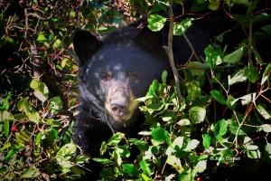 Black-Bear;Forage;Mammal;National-Bison-Range;The-National-Bison-Range;Ursus-ame